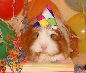 Celebrating, guinea pig style!