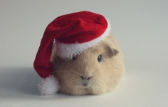Merry Christmas, from all at April Lodge Guinea Pig Rescue!