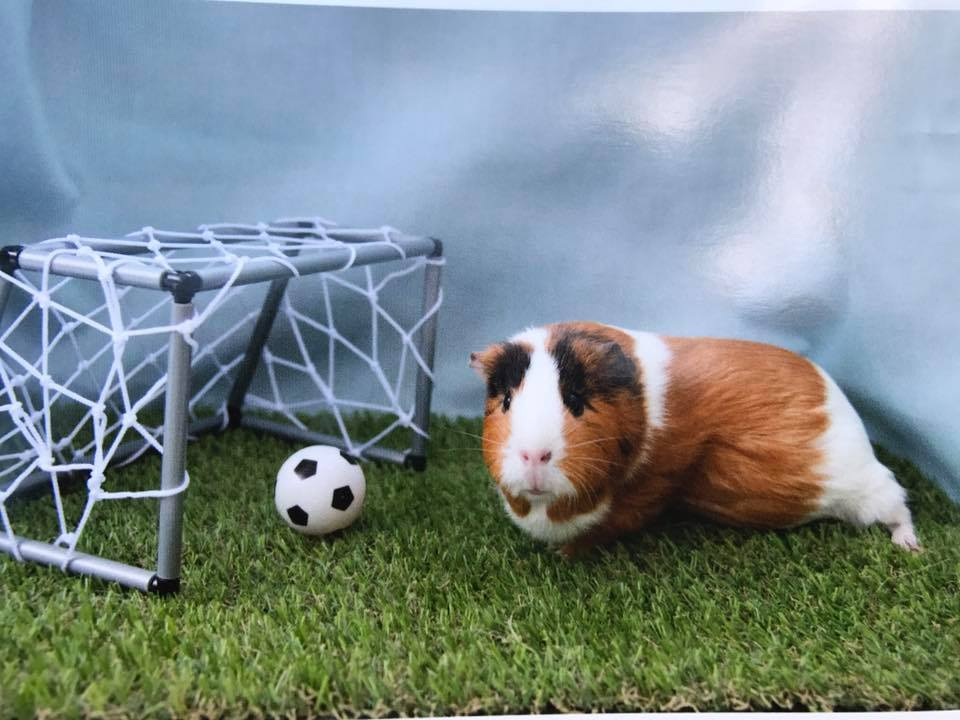 Whats on april lodge guinea pig rescue photo shoot pigs sciox Image collections