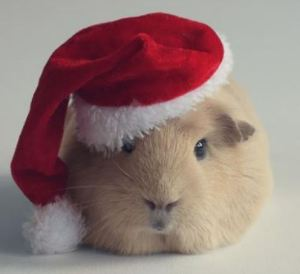 guinea pig with santa hat